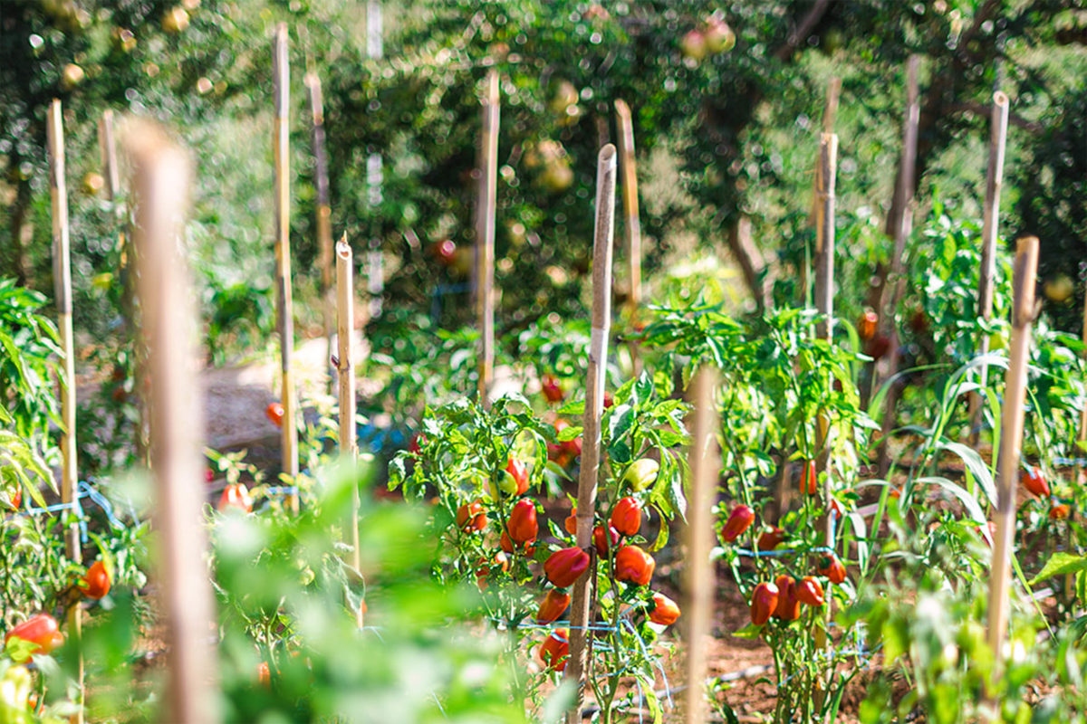 Small tomatoes in the farm
